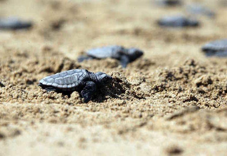 Młode żółwie właśnie się wykluwają z jaj - zobaczcie zdjęcia