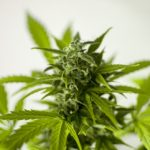 Marihuana legalna!
