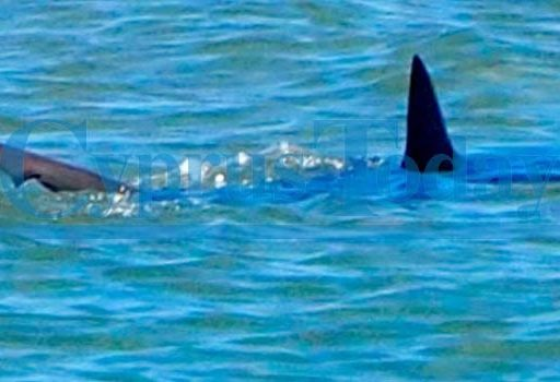 Sfotografowano rekina przy północno cypryjskiej plaży